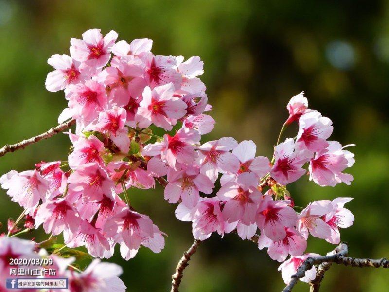 嘉義縣阿里山櫻花各種色系都有圖為粉色系櫻花。 圖/黃源明 提供