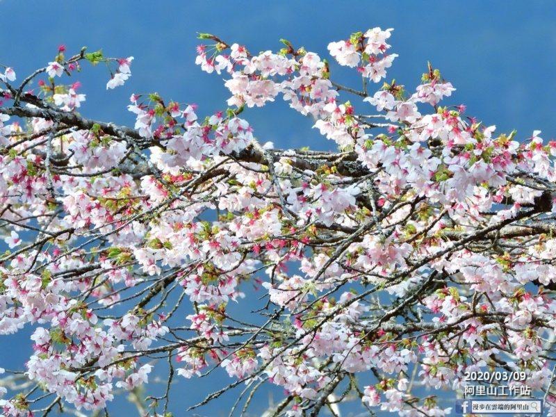 賞櫻不用出國,嘉義縣阿里山櫻花季即將登場,歡選民眾上山。 圖/黃源明 提供