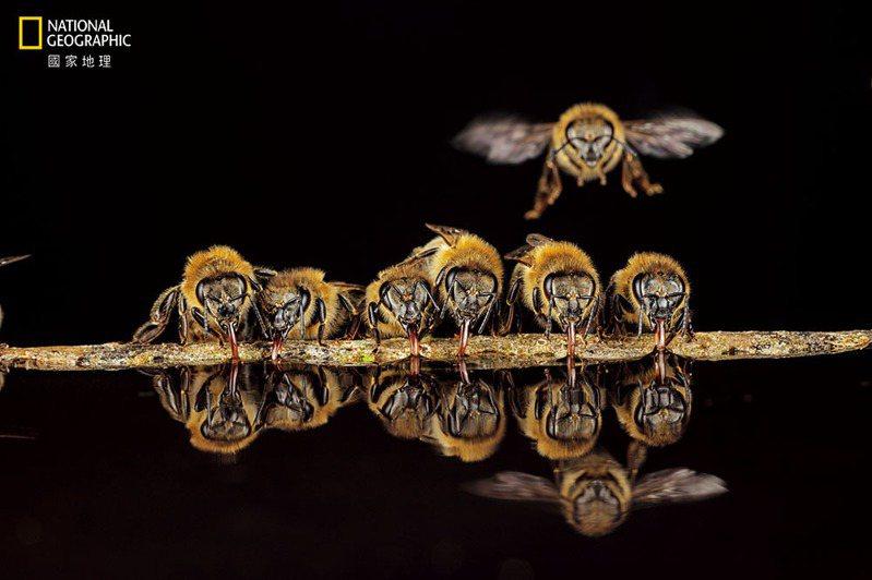 舌頭吸管/德國蘭根鎮的西方蜜蜂會用管狀的舌頭吸水帶回蜂巢,並用這些水控制蜂巢的溫度。 攝影: 英戈. 阿恩特 INGO ARNDT