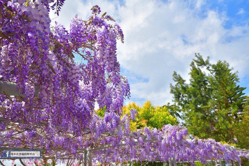 嘉義縣竹崎鄉中和村頂石棹長青居的紫藤花這周為最佳賞花期,民眾可把握機會上山賞花。圖/黃源明提供
