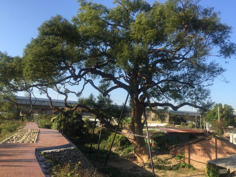 苗栗縣頭份市新華社區130多歲老樟樹,縣府去年護樟防堵褐根病,今年生意盎然。圖/苗栗縣政府提供
