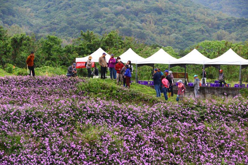 農委會台東區農業改良場辦理農村地景新風貌,在大道旁農地栽種「蔓性馬纓丹」,紫色花海讓大道美不勝收。圖/台東區農業改良場提供