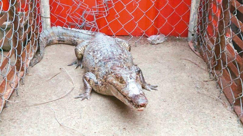 一名曾姓男子昨天自稱是鱷魚飼主,盼能領回遭拒。 記者李京昇/攝影
