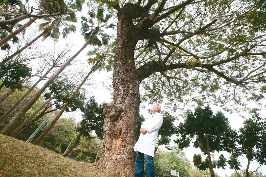 高雄長庚醫院名譽院長陳肇隆是愛樹人,也鼓勵別人種樹,他救回的這棵百年雨豆樹已在長...