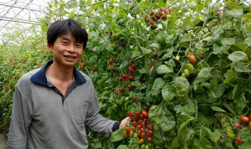 返鄉青農賴志昇栽種出來的玉女番茄鮮紅欲滴,他以茄子的嫁接苗栽種,使果肉口感細緻。...