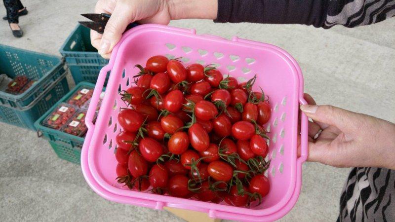 返鄉青農賴志昇栽種出來的玉女番茄鮮紅欲滴,他以茄子的嫁接苗栽種,果肉口感細緻。 ...