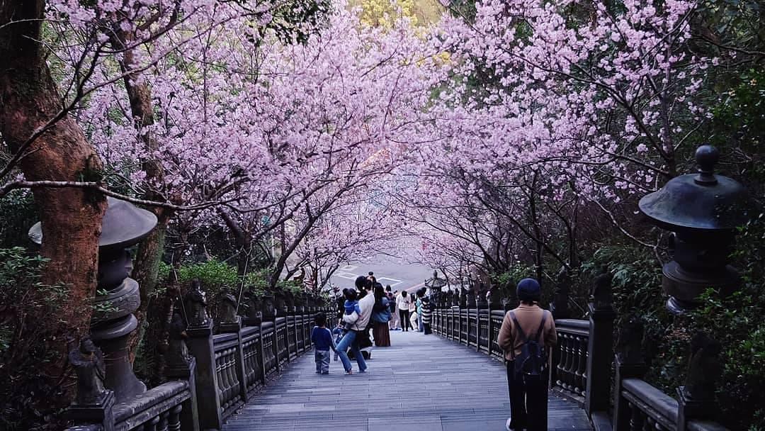 內湖碧山巖的粉櫻隧道。 圖/黃仕揚 攝影
