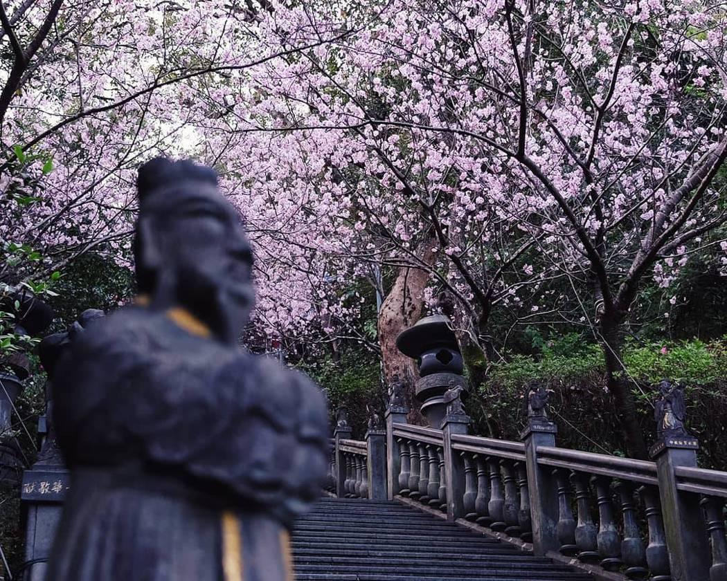 內湖碧山巖是台北近郊賞櫻好去處。 圖/黃仕揚 攝影