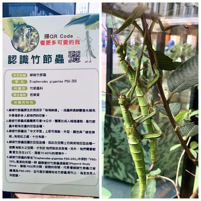 綠椒竹節蟲,拍攝於亞泥生態園區巡迴展,地點:新北的大遠百