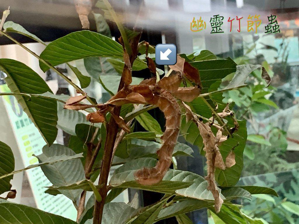 綠椒竹節蟲,拍攝於亞泥生態園區巡迴展,地點:新北的板橋大遠百
