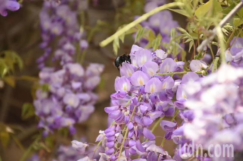 嘉義縣梅山鄉瑞里村從3月進入紫藤花期,預計3月中旬花開最絢麗。記者陳玫伶/攝影