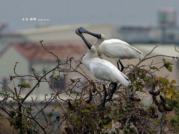 「黑琵先生」王徴吉今年2月在台南鯤鯓拍到黑面琵鷺「談情說愛」、築巢的畫面。圖/王徴吉提供