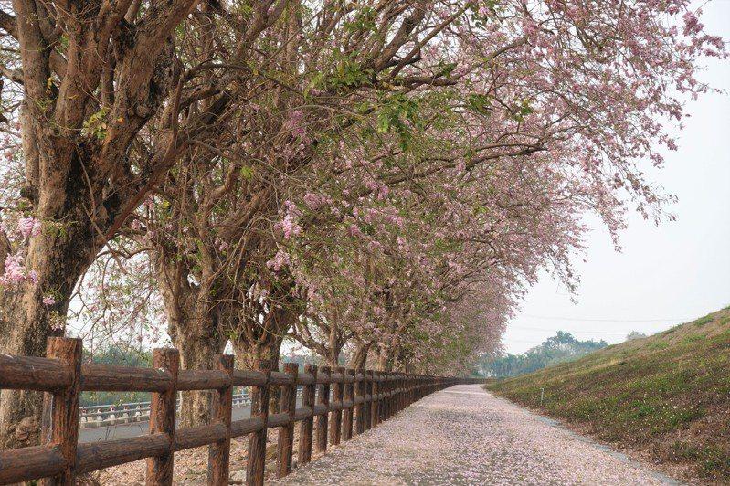 台南烏山頭風景區香榭大道南洋櫻盛開,花瓣雨飄落滿地如舖上粉紅地毯。記者吳淑玲/攝影