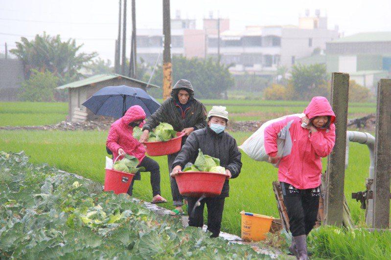 北斗菜農開放高麗菜園讓民眾自採,民眾冒雨前往。記者林敬家/攝影