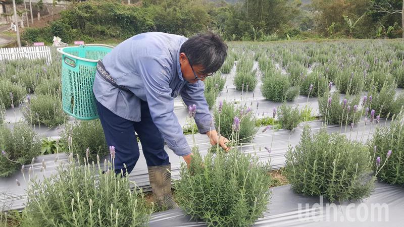 「葛瑞絲香草田」堪稱北台灣最大一片薰衣草田,今年花期已至,有多達2萬5000株的薰衣草可賞,農場工作人員忙著採花提煉精油。記者胡蓬生/攝影
