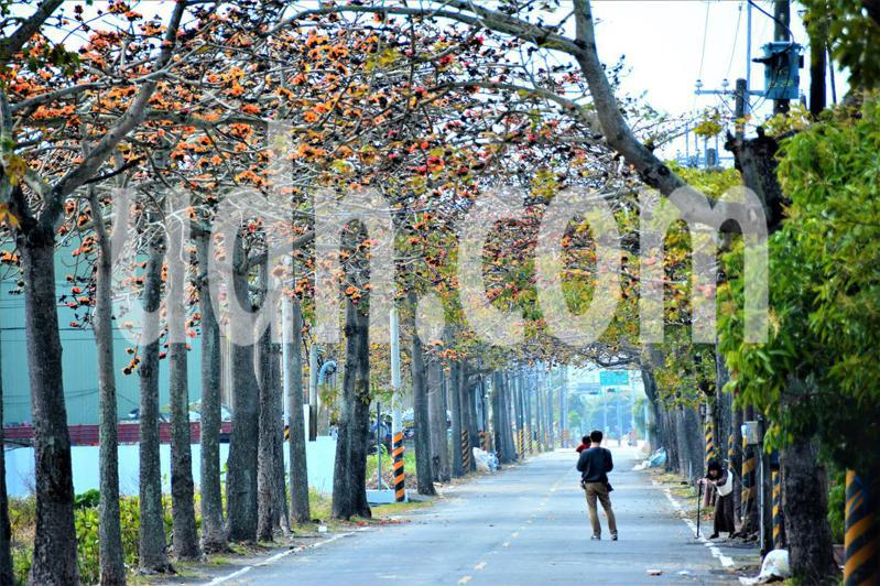 台南將軍區木棉花道吸引民眾拍照。記者吳淑玲/攝影