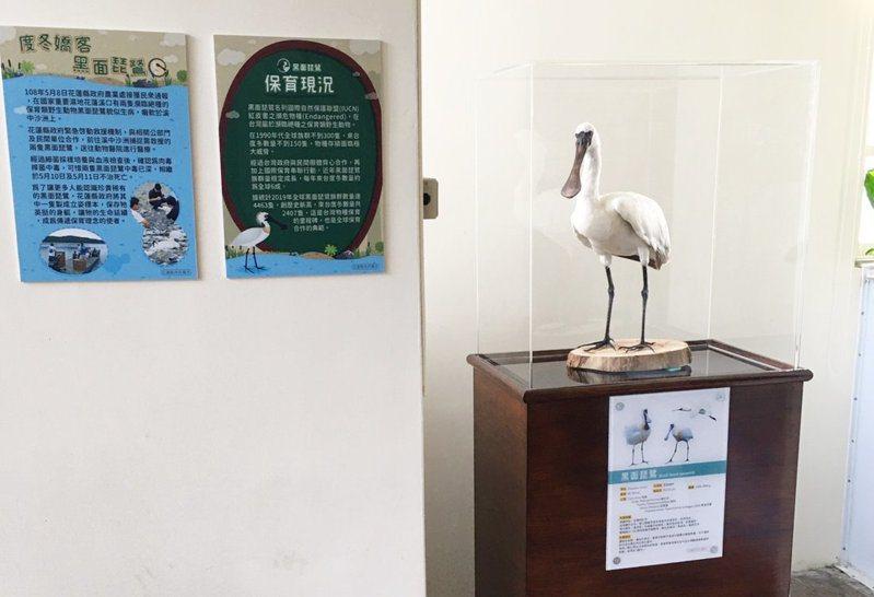 花蓮縣府將黑面琵鷺製作成立姿標本,設立在水培所,供民眾觀賞近距離認識黑面琵鷺。圖/花蓮縣府提供