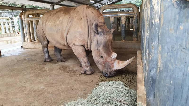 六福村的犀牛妮妮在15日順利產下一頭犀牛寶寶。圖/六福村提供