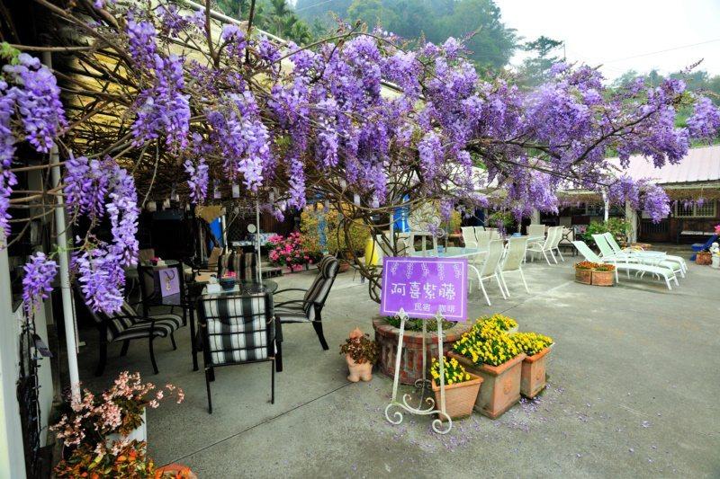 瑞里「阿喜紫藤」為了維護賞花品質,每天只開放了60位下午茶、18位住宿,遊客需提...