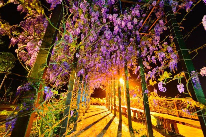 嘉義縣瑞里茶壺民宿內紫藤花現已盛開約5成,夜間燈光照耀著粉紫色的紫藤花,吸睛度十...