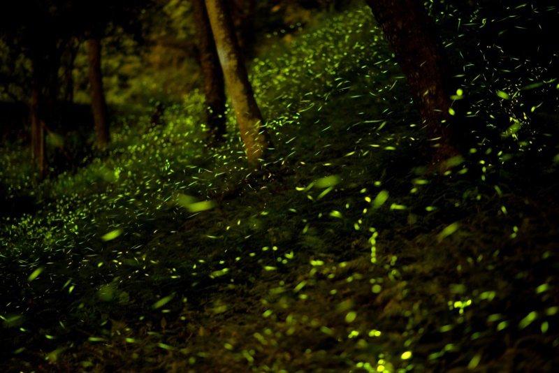 東勢林場近日螢火蟲悄悄閃著螢光現身,令園區人員驚喜不已,預計4月上旬大爆發,螢火...