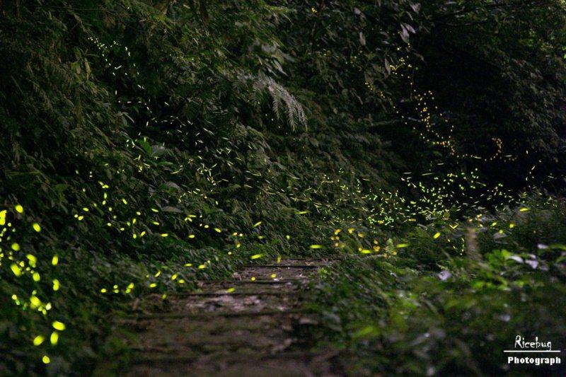 新竹內灣賞螢地點以東窩溪螢火蟲生態園區最著名,晚間7時至8時是螢火蟲出沒最大量的...