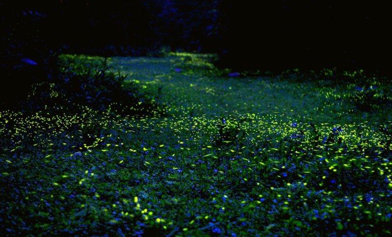 苗栗西湖度假村1820忘憂谷則有著名的「三義藍眼淚」,除了有肉眼就能看到一整片光...