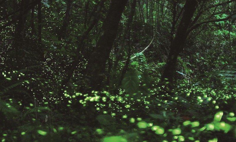 苗栗西湖度假村1820忘憂谷,看到一整片螢火蟲光點。 圖/西湖度假村官網