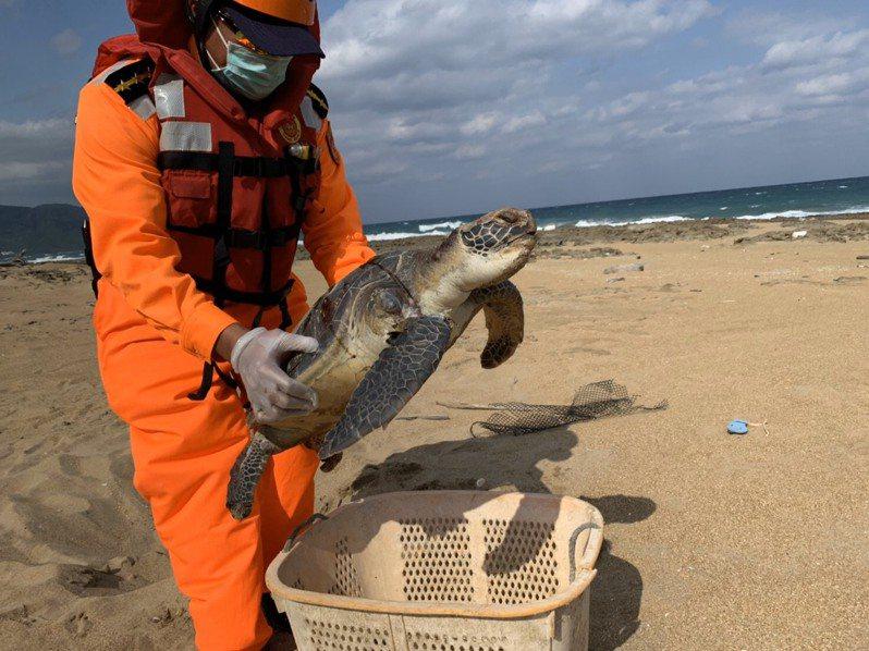 屏東縣滿洲鄉金沙灘岸際昨天下午發現1隻死亡綠蠵龜,因死亡時間不久,仍具研究價值,交由屏東海生館帶回研究。記者潘欣中/翻攝