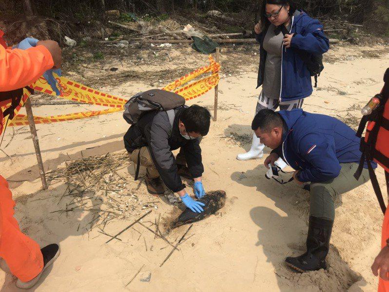 金馬澎分署金門岸巡隊今日在金沙鎮海山美岸際再度發現1隻死亡海豚擱淺,相關人員前往處理。圖/金門岸巡隊提供