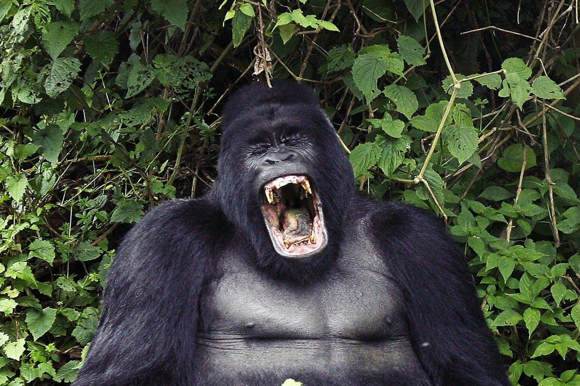 中西非國家加彭日前宣布:儘管尚未確認新型冠狀病毒對大猩猩的傳染性,但考慮到「大猩...
