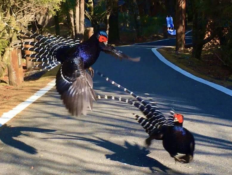 嘉義縣阿里山鄉日前有兩隻雄性帝雉,在祝山車站通往小笠原山的步道上大打出手。圖/葉宜欣提供