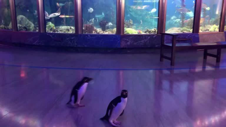 美國的新冠肺炎疫情正在延燒,伊利諾州限制集會人數不可超過50人,芝加哥市多數博物館順勢休館,雪德水族館(Shedd Aquarium)的照護員15日則藉此機會,帶著館內3隻跳岩企鵝(Rockhopper Penguin)來一趟難得的館內巡禮。路透