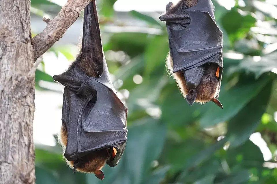 蝙蝠是古老物種,蝙蝠體內RNA病毒具有很高的突變重組率,當棲地遭破壞時,也造就牠...