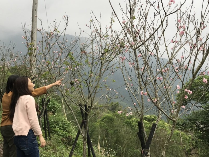 壽豐鄉樹湖櫻花步道吉野櫻盛開,吸引民眾賞花。 圖/王燕華 攝影