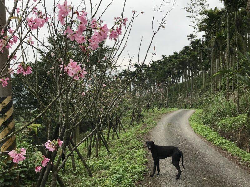 花蓮縣壽豐鄉樹湖櫻花步道,半山腰的吉野櫻正盛開,適合健行賞櫻。 圖/王燕華 攝影