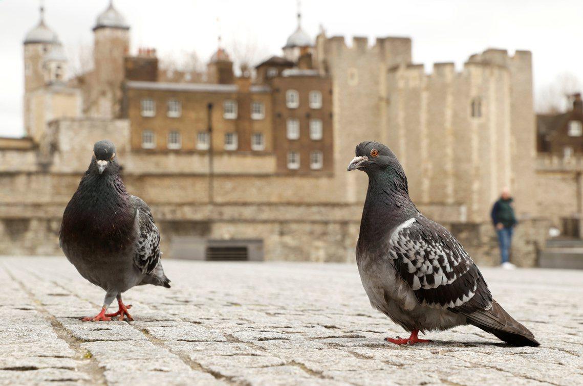 倫敦塔前的鴿子。 圖/路透社
