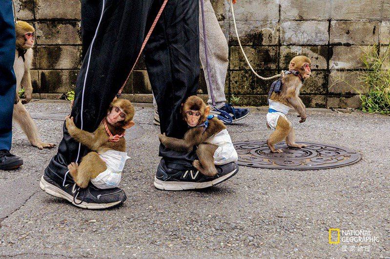 川崎市表演團體「戰豆的猴戲」的馴猴師每天都帶著他們負責照顧、包著尿布的猴子去街上散步。在猴戲訓練的早期階段,幼猴會學習坐在小凳子上,再慢慢學習踩高蹺與跳過障礙物。 攝影: 賈斯博. 杜斯特 JASPER DOEST