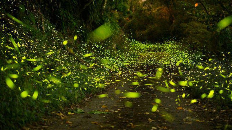 嘉義縣大阿里山螢火蟲季來臨,嘉義縣番路鄉公興社區的最佳賞螢時節為3月底至5月初。圖為去年的螢火蟲盛況。圖/黃文鋒提供