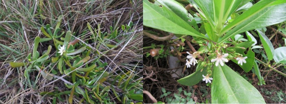 花的構造雖然很相似,但草海桐(右)是直立的灌木或小喬木,葉長約7至12 cm;海南草海桐(左)則是矮小匍匐性肉質藤本,葉長1至2 cm。 圖/鄧書麟提供