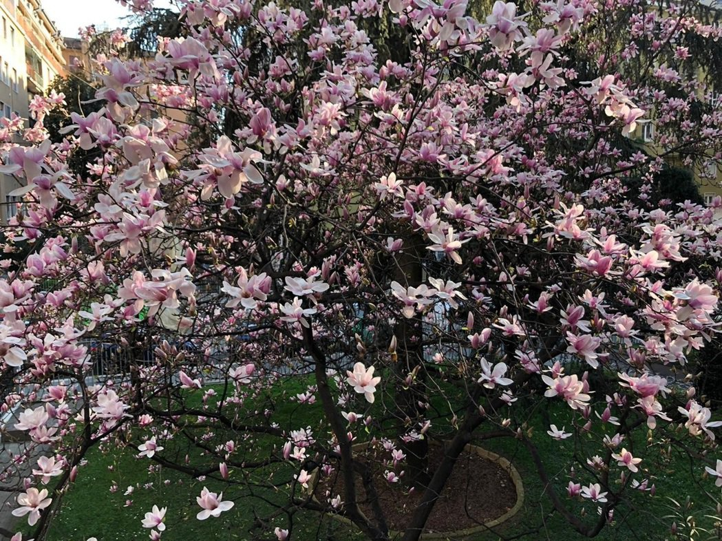 義大利米蘭正值春回大地的3月天,庭院的義大利玉蘭美麗綻放,受疫情衝擊,想享受陽光...