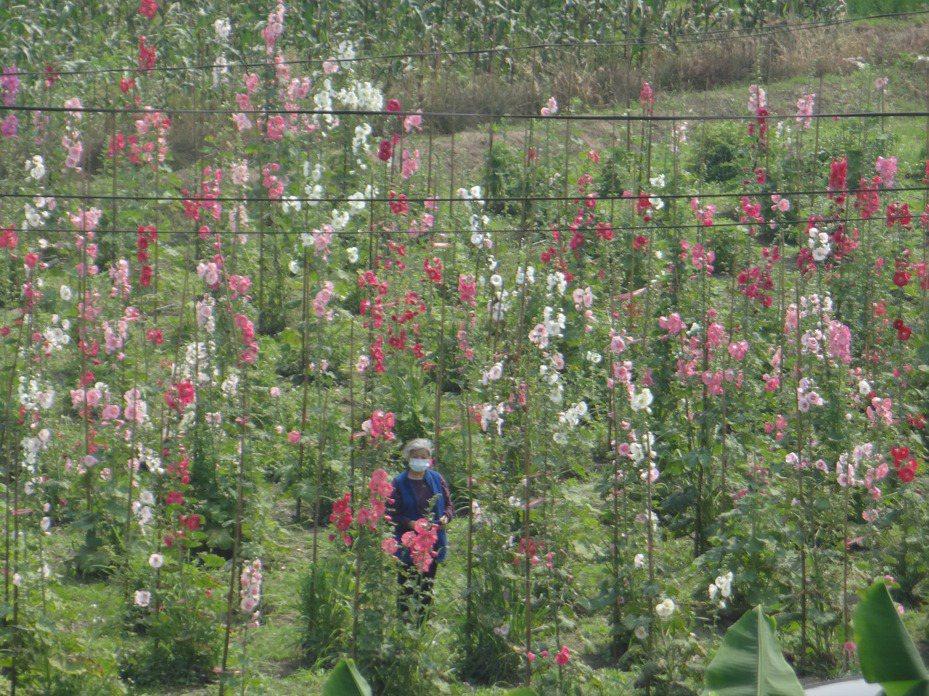 林內還公所還租地為紫斑蝶闢建美麗的花園作為紫蝶休息站。記者蔡維斌/攝影