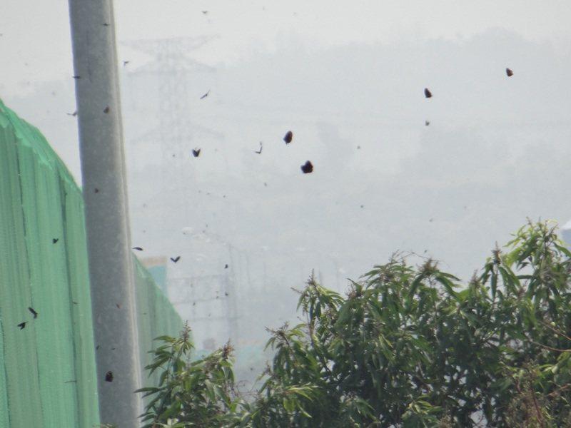 數以萬計的紫斑蝶奮力越過護網,穿越高速公路繼續向前飛行。記者蔡維斌/攝影