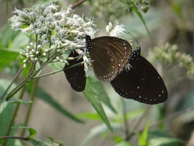 紫斑蝶在林內鄉公所闢建的蜜查物花園中採蜜休息,以能繼續飛行萬里路,美麗的身影吸引不少遊客賞蝶。記者蔡維斌/攝影