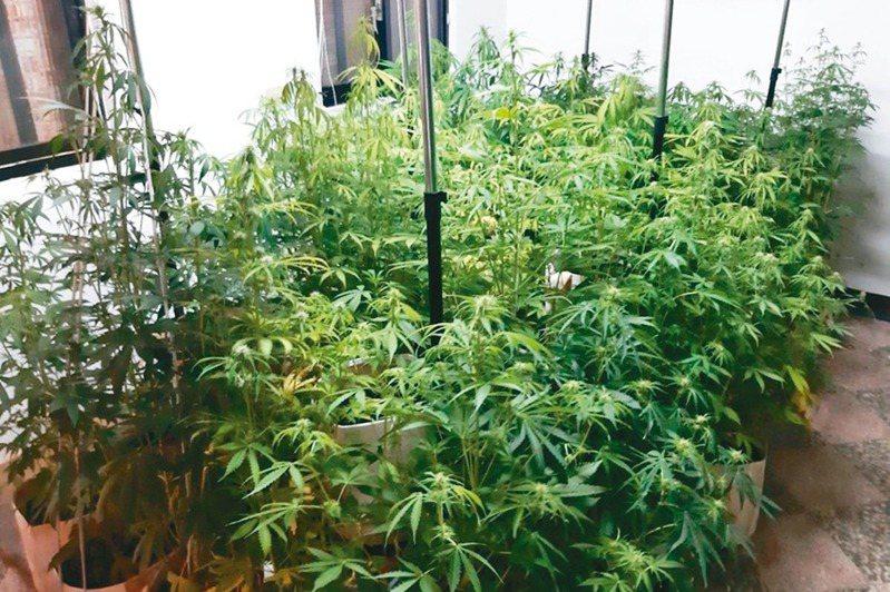 國內種大麻不論多寡、用途,現行法定刑五年起跳,大法官昨宣告此一規定違憲。記者賴郁薇/翻攝