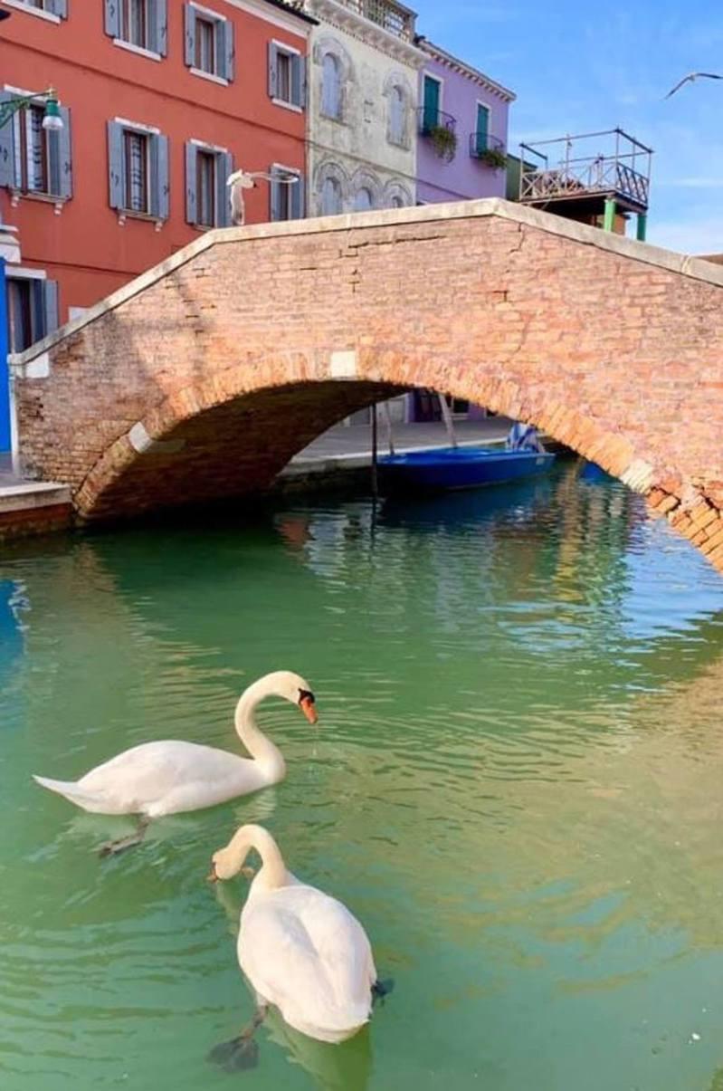 Twitter自周二(17日)起流傳多張聲稱在威尼斯運河拍攝的照片,表示當地因疫情而人流大減,天鵝重返運河。(「ikaveri」Twitter圖片)