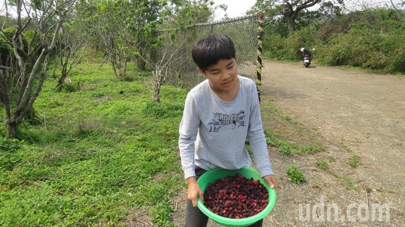 苗栗縣銅鑼鄉種在公有土地的1000棵桑葚樹結實纍纍,開放民眾免費採。記者范榮達/攝影