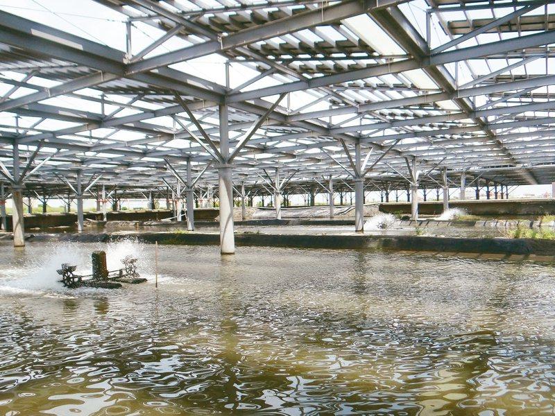 雲林鄉口湖鄉公所推動智慧養殖,其中「漁電共生養殖」已實驗成功,可讓漁養到加工一條鞭。 記者蔡維斌/攝影