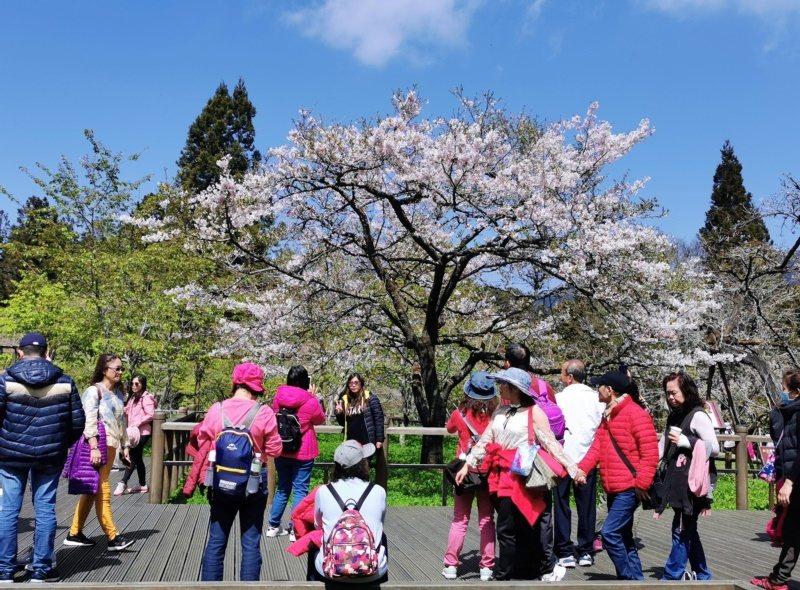阿里山工作站前的「櫻王」 染井吉野櫻已盛開,現場拍照、賞櫻遊客絡繹不絕。 圖/卜...