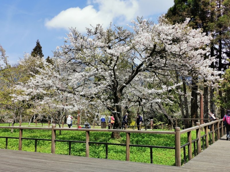 阿里山工作站前的「櫻王」 染井吉野櫻已盛開。 圖/卜敏正 攝影